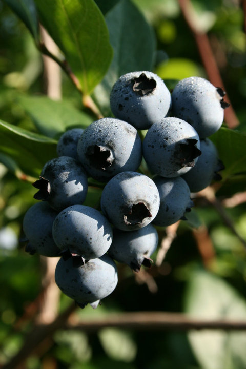 blueridge blueberry farm.jpg
