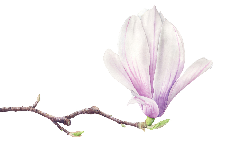 Magnolia Soulangena_1.jpg