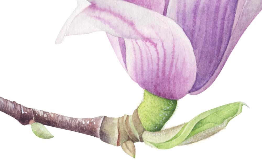 Magnolia Soulangena_2.jpg