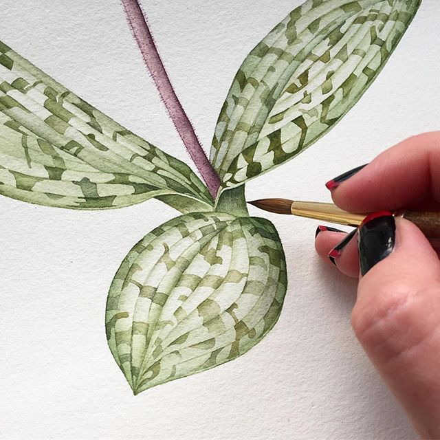 Slipper orchid leaves.  #watercolor #watercolour #waterblog #orchid #winsorandnewton #aquarelle #art #botanicalart #botanicalillustration #flowers #creativity #watercolors #artist #wip #commissionwork #artcommission