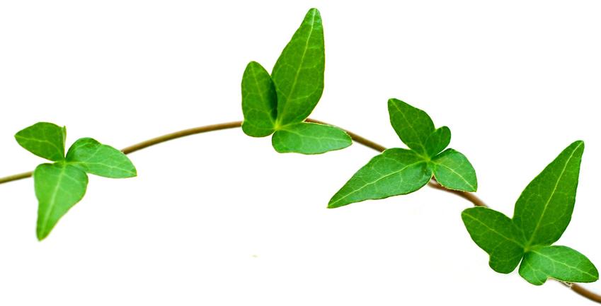 ivy-leaf-58896.jpg