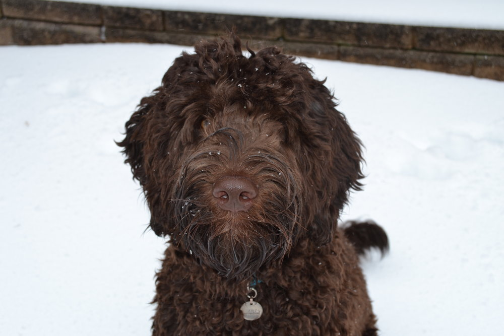 doodles having fun in the Snow . . .