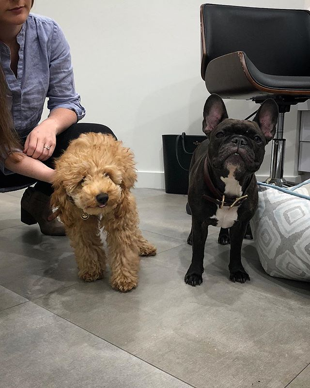 Our new visitor was approved by our office doggager! Isn't Rupert the mini poodle the cutest 😍!! #dentaldoggos