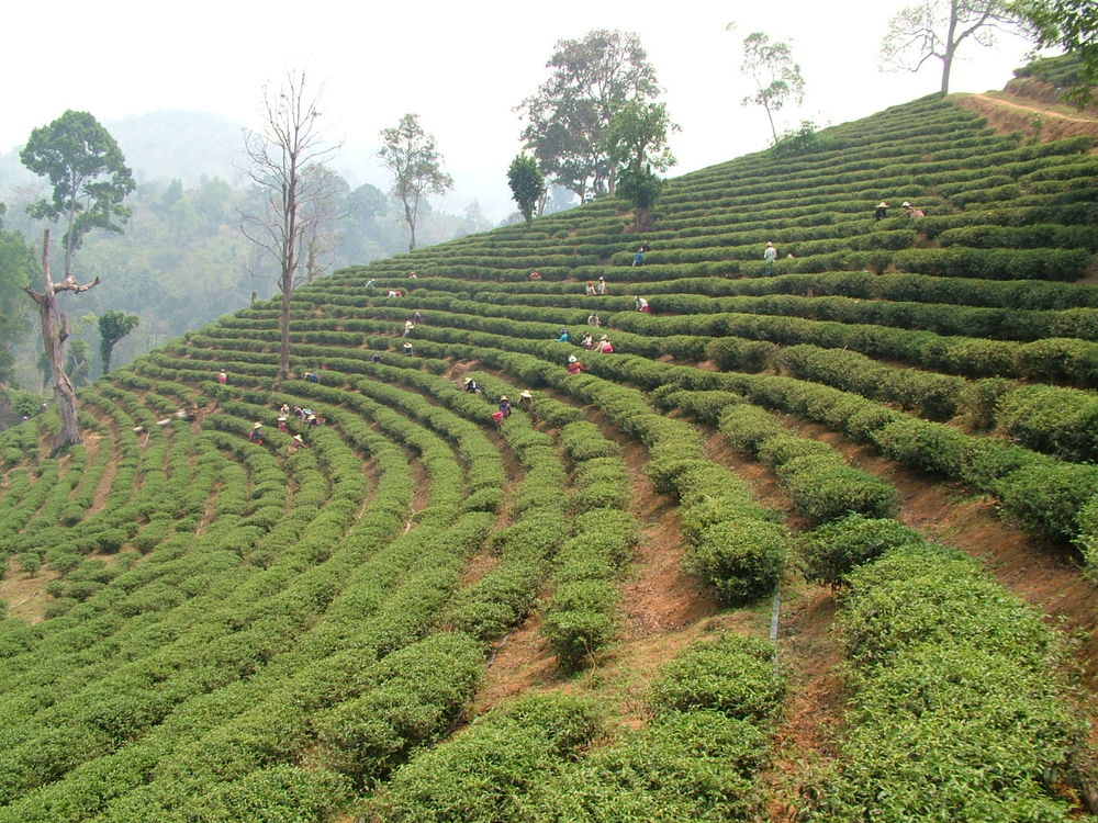 Tea rows on the farm