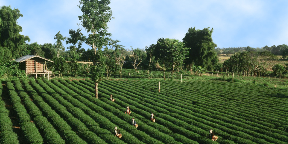 Life among the tea leaves