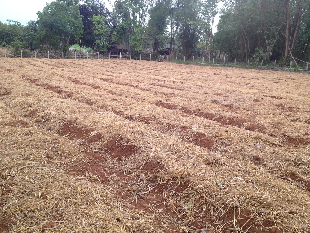 Ginger fields after harvest