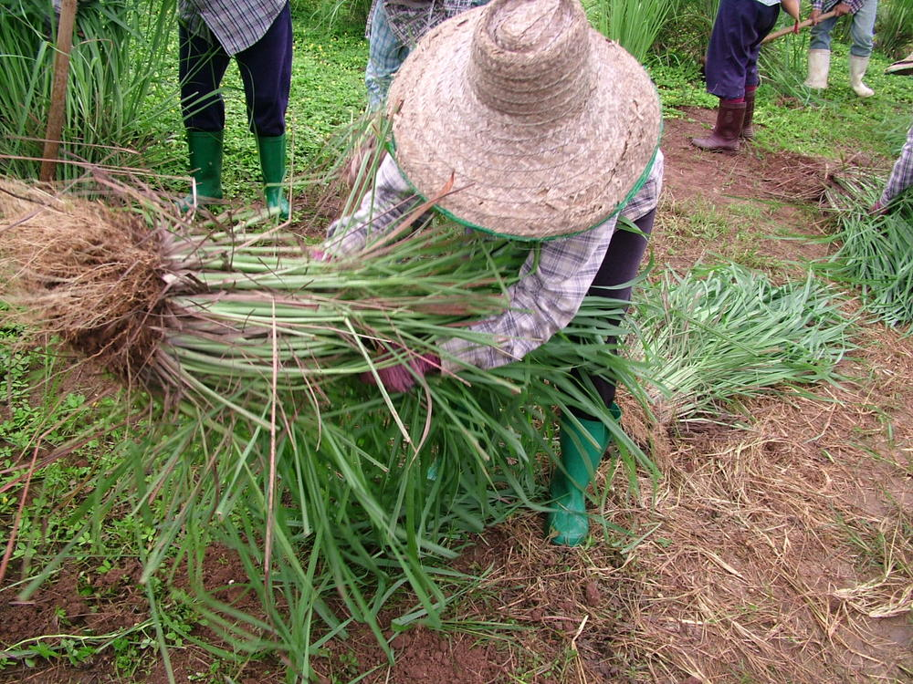 Lemongrass harvest