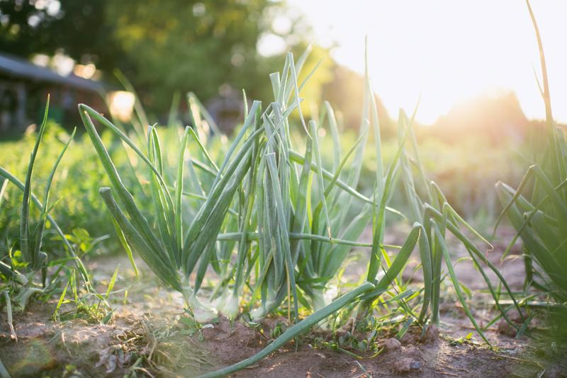 Common Harvest Farm Green Onions