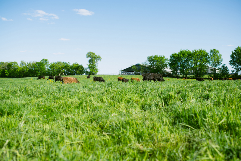 Peterson Limousin Beef Pasture-Raised Cattle