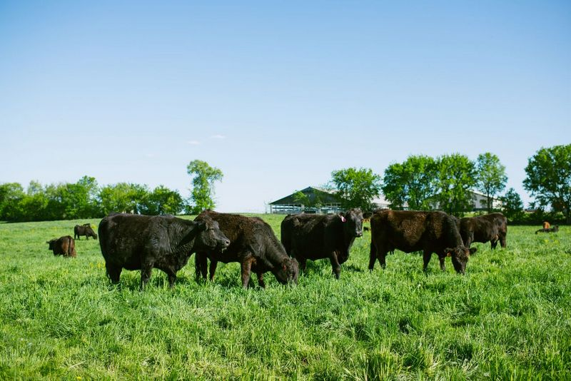 Peterson Limousin Beef Pasture-Raised Cows