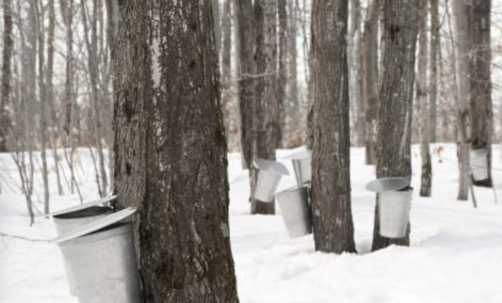 Tapping local Maple Trees in the St. Croix River Valley - photo courtesy of Don's Sugar Shack