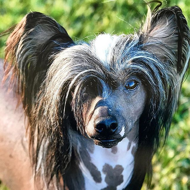 Beautiful salt and pepper locks on this delicate young lady #chinesecrested #chinesecresteddog #gorgeoushair #gorgeousskin #interestingbreed