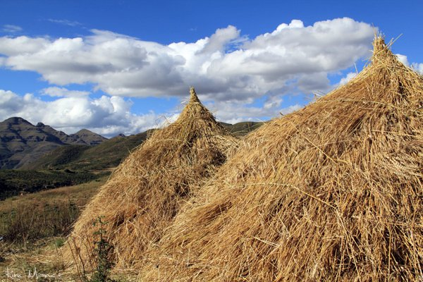 Wheat harvests in a Lesotho mountain village. Africa.