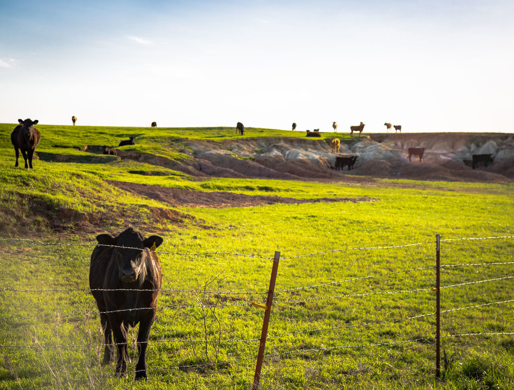 Grazing pasture with cows in rural Oklahoma, USA.