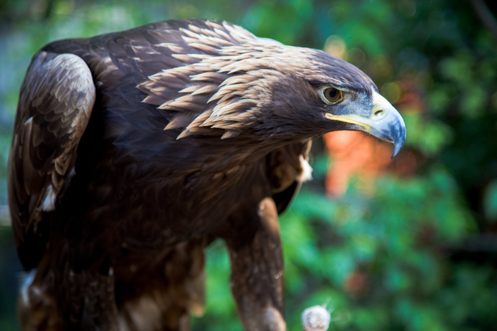 Sacred Golden Eagle at a Native American eagle sanctuary in rural Oklahoma.