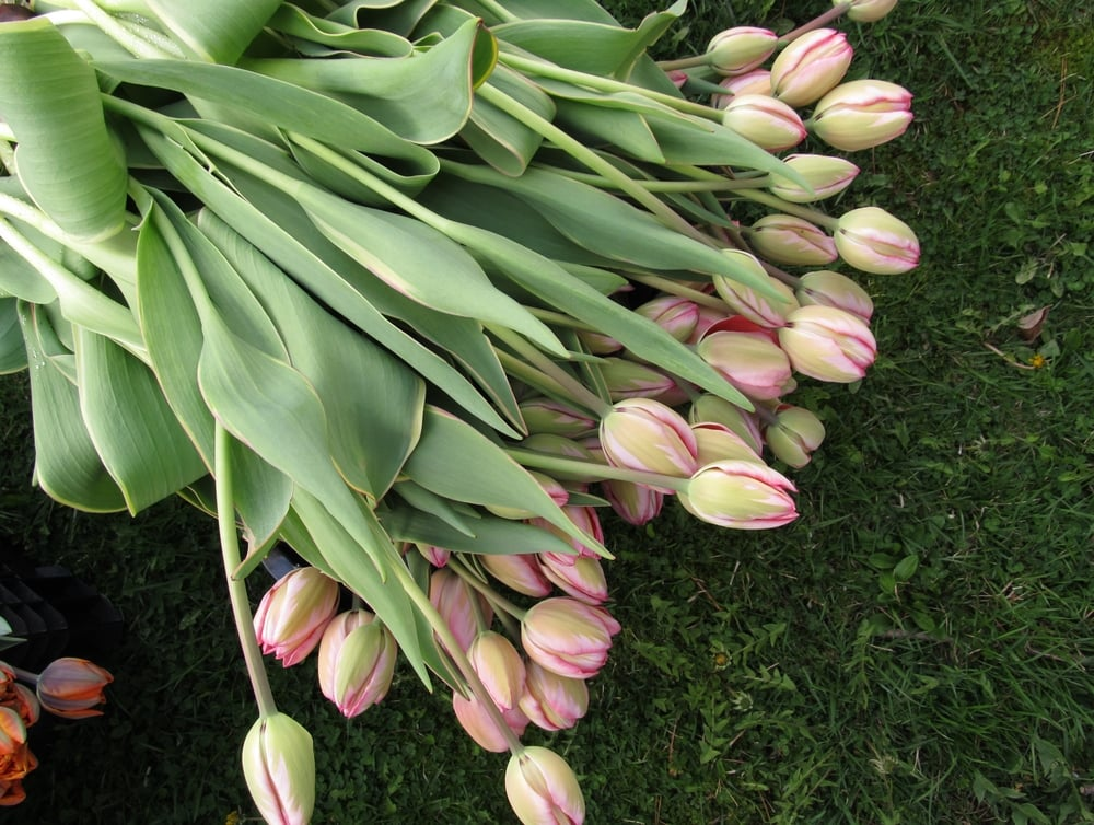 TALL SINGLE TULIPS