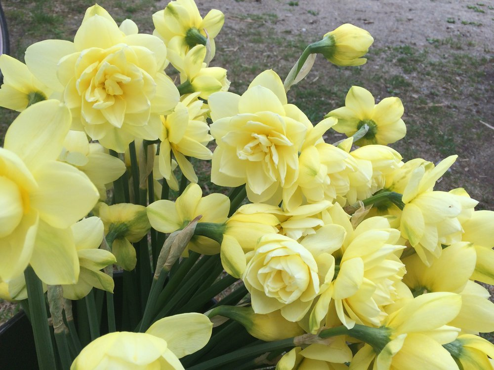 HEIRLOOM NARCISSUS
