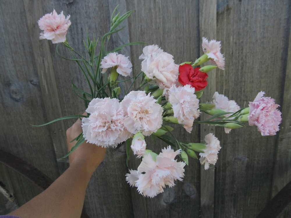 FRAGRANT CARNATIONS