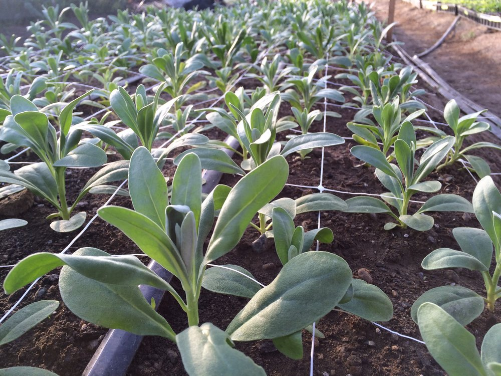 Matthiola incana seedlings growing in the early season high tunnel