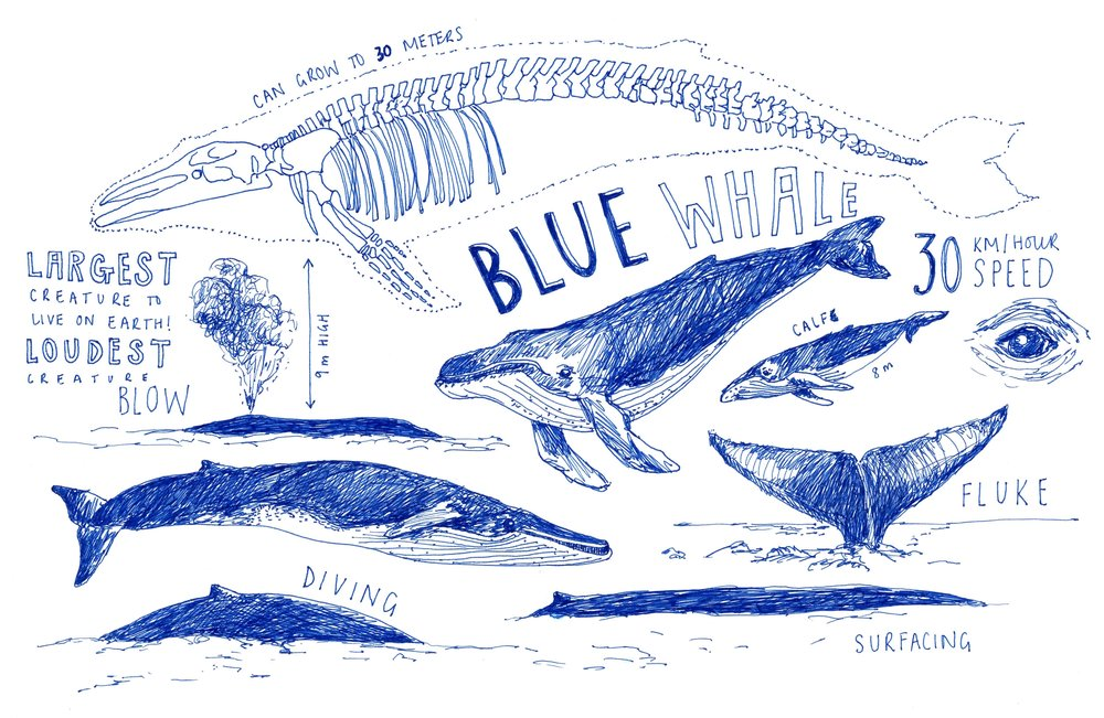 Peita-Blythe_Whale-Illustration_Web.jpg