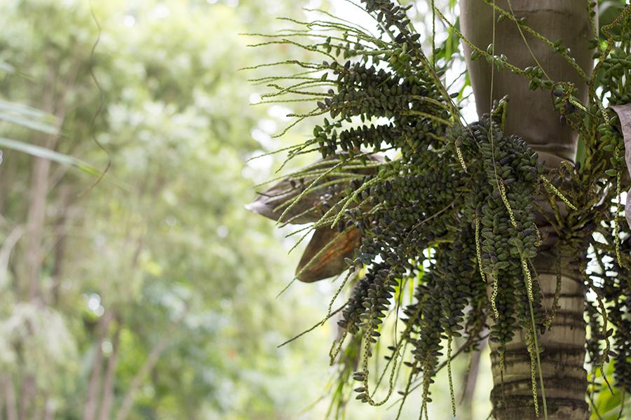 Coffee arabica tree at Sir Seewoosagur Ramgoolam Botanical Garden (Pamplemousses Botanical Garden)