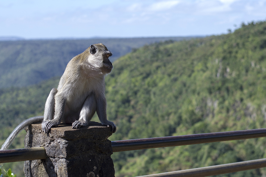 A macaque monkey casts a curious gaze at onlookers