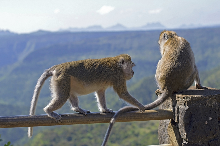 Playful macaque monkeys at the overlook above Black River Gorges National Park
