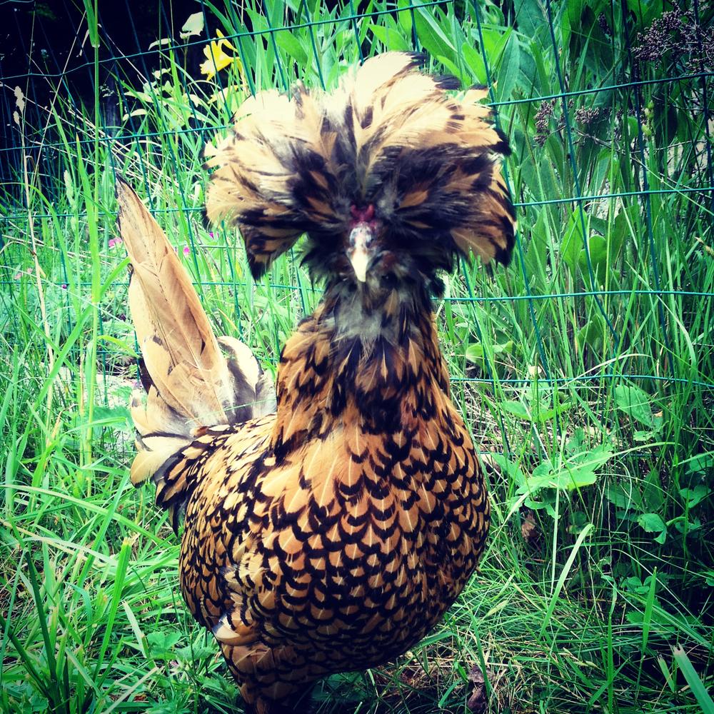 Betty the Golden Polish hen