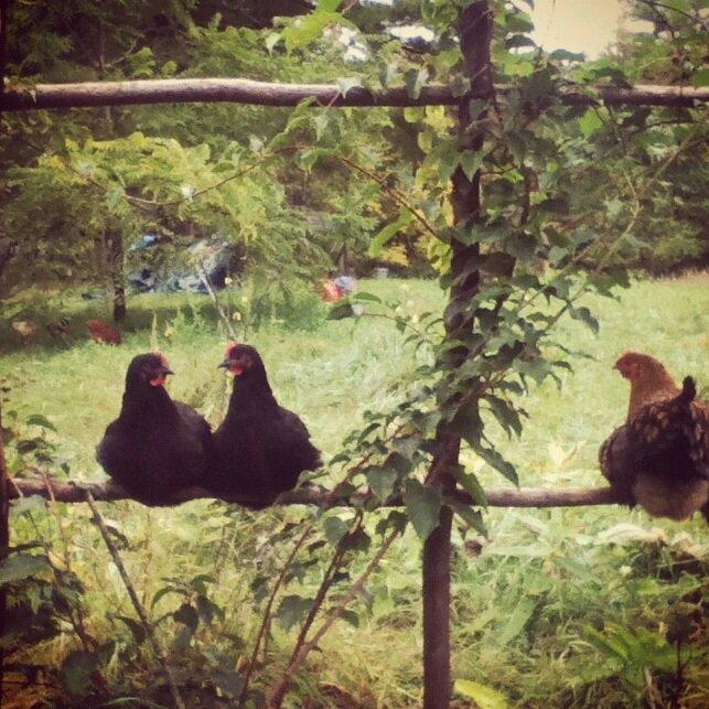 Hens on the kiwi arbor