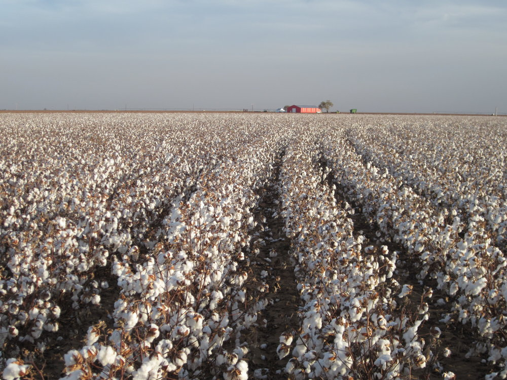 Organic cotton crop in Texas where our filters' journey will begin