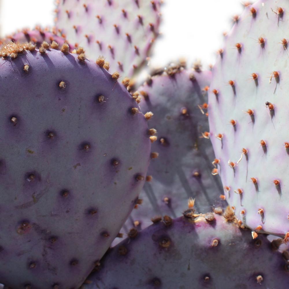 Purple Cacti.jpg