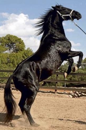 Mallorcas Pferderasse