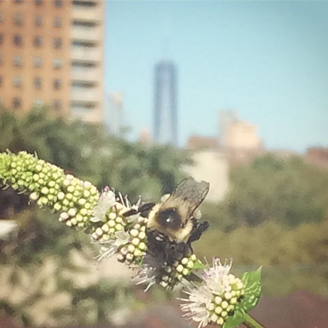 A little nature in the big city. 🏙🌱🐝 #freedomtower #bumblebee #mint #mintflower #butterfly #maybeamoth ? #rooftop #rooftopgarden #brooklyn @migool16000