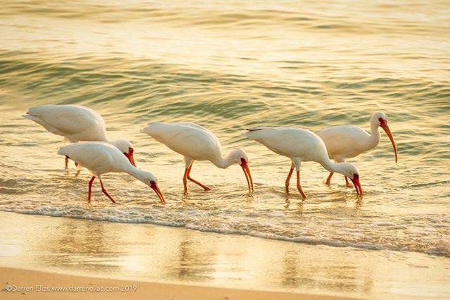 White Ibises in the Surf  @nikonusa #naplesflorida #naples #darrenelias #darreneliasphotography #wildlife #birds #ibis #surf #shoreline @kelbyonepics #birdsofafeather #coastal #whiteibis