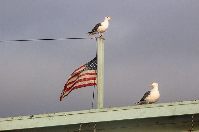 These patriotic seagulls are keeping their eyes on swimmers from the top of a lifeguard stand. It's safe to swim, but watch out for your snacks.⠀ ⠀ ---------------------------⠀ ⠀ #thebirdingsquad #birdphotography #your_best_birds #nuts_about_birds #bestbirdshots #birdinstagram #bird_brilliance #eye_spy_birds #seagulls #seagullwatch #birdsofinstagram #your_best_birds #birding_lounge #best_birds_of_instagram #nuts_about_birds #beachwalk #beachmode #beachmood #beachmoments #socalbeaches #beachlifestyle #beachwalks #socalphotographer #socalshooters #socalshooter #socalliving #nature_photo