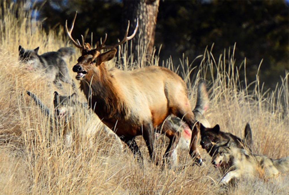 Wolves chasing Elk, kill