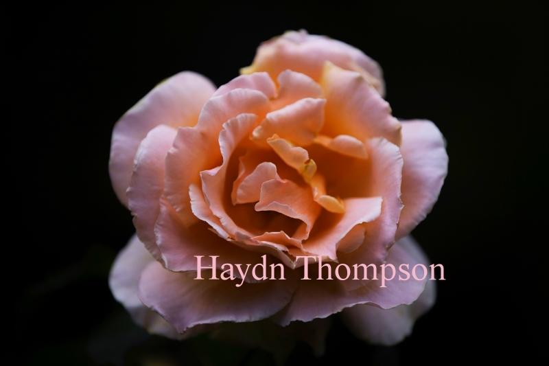 Pink Rose - Just Joey.jpg