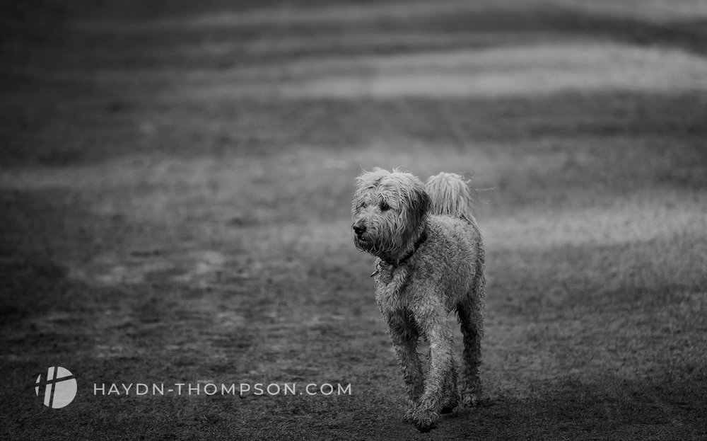 Muddy Poodle - (Small Size - Modified - Watermark).jpg