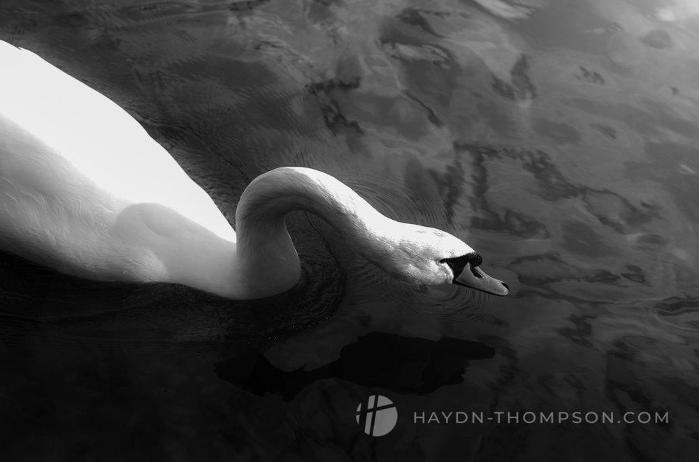 White Swan Low Glide (Small Size - Watermark).jpg