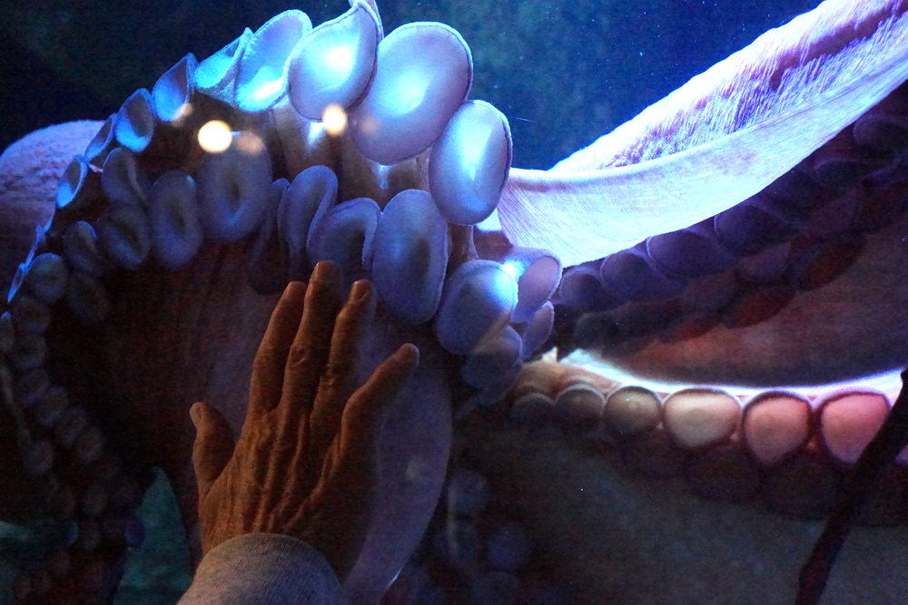 "A man compares hand sizes with the Giant Pacific Octopus in the new Monterey Bay Aquarium's exhibit, ""Tentacles."""
