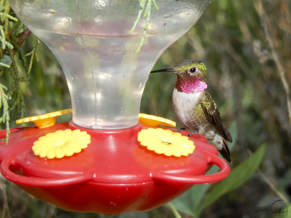 Male hummingbird on feeder