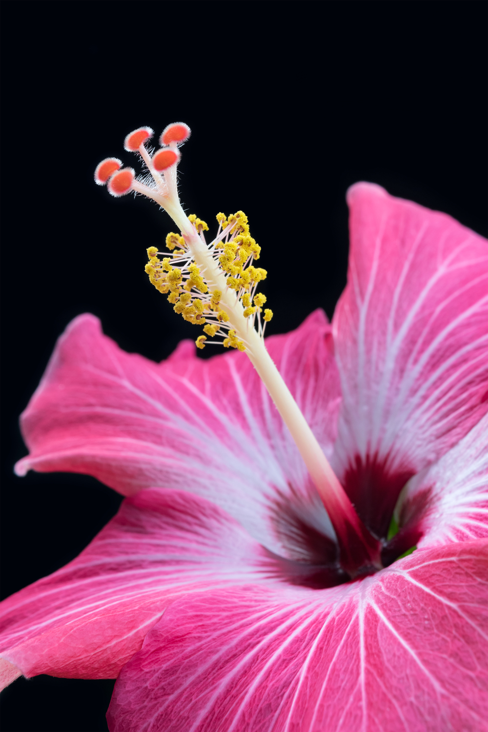 Close Hibiscus