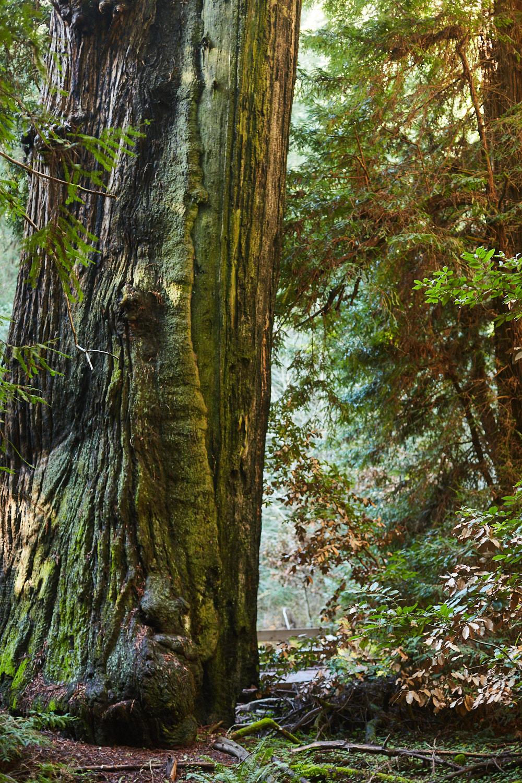 sophia-liu-photography-muir-woods-IMG_7928x1500.jpg