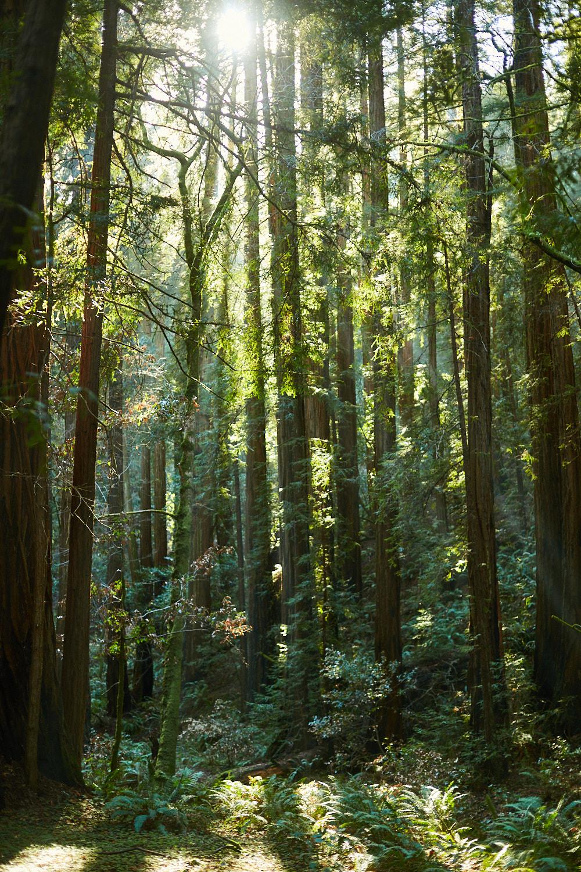 sophia-liu-photography-muir-woods-IMG_8051x1500.jpg