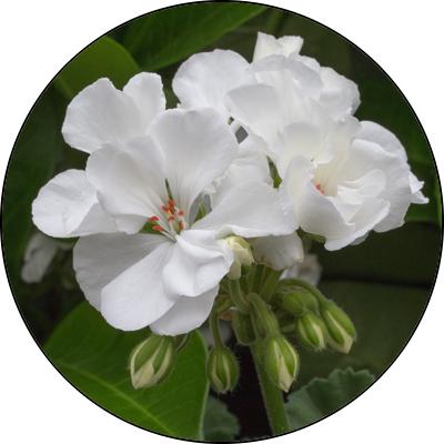 geranium_white