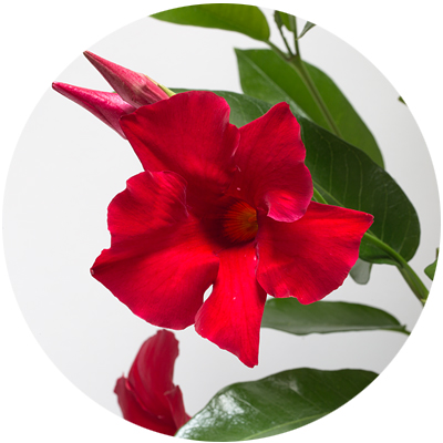 mandevilla_red
