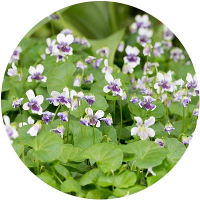 native_violets