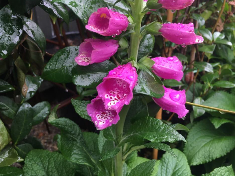 Winter-foxgloves.jpg