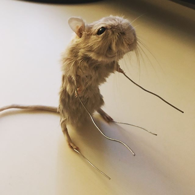 My first and definitely not my last attempt at #taxidermy #birthdaytreat #bucketlist #garythegerbil #thmassacre courtesy of the @londontaxidermyacademy