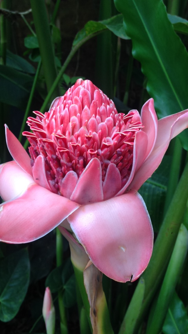 Torch Ginger ( Etlingera elatior)  - perennial herb that grows up to 6 metres tall